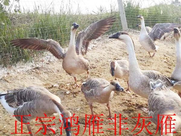 中国成品大雁_大量供应优惠的成品大雁