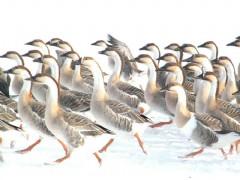 海南鸿雁|东方鸿雁养殖合作社质量好的鸿雁出售