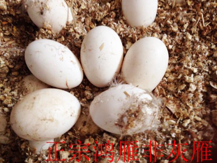 哪儿有批发实惠的大雁蛋-山东大雁蛋