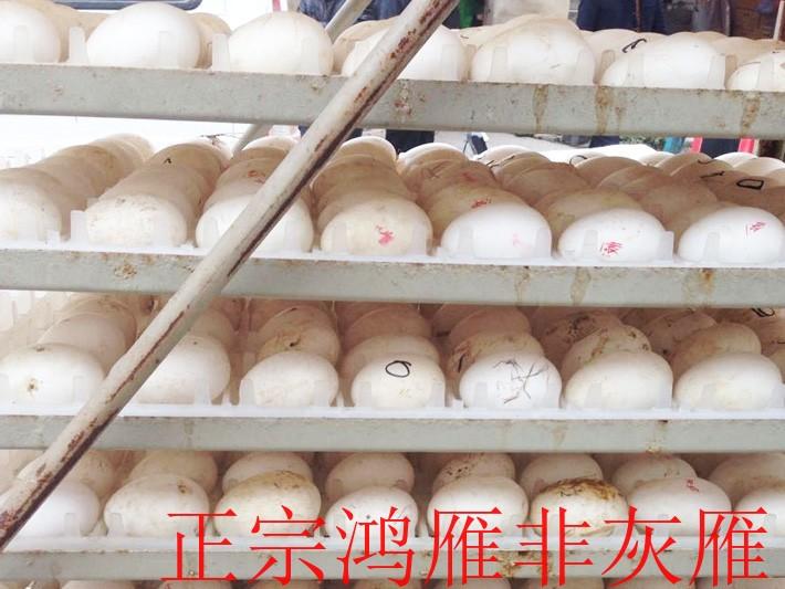 广东大雁蛋-蚌埠哪里有口碑好的大雁蛋供应