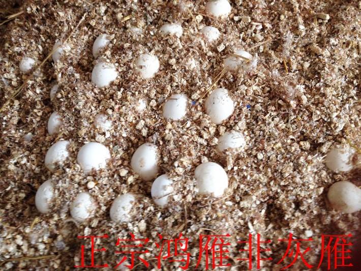 大雁蛋價格|供應蚌埠性價比高的大雁蛋