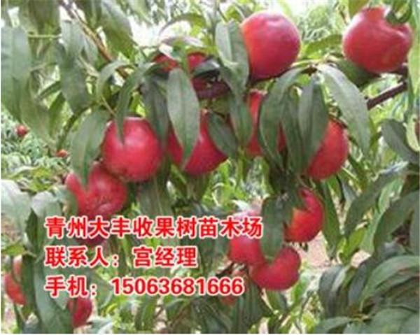 中熟品种桃苗【甜】中熟品种桃树苗【棒】大丰收