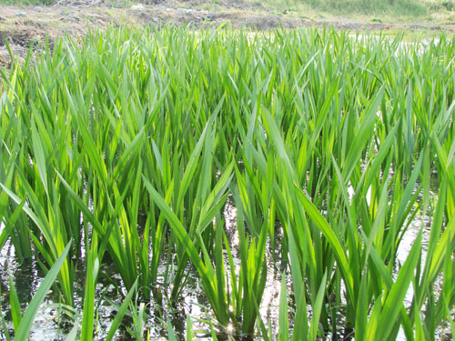 东莞专业的水生植物供应商 广东水生植物种基地