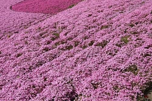 山东芝樱-价位合理的芝樱就在全意花卉苗木