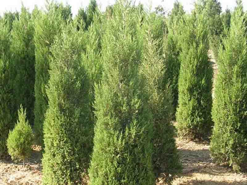 榆中绿化苗木-苗木基地哪里有卖的