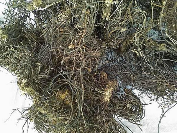 新宾旺富野中药材种植提供有品质的威灵仙——锦州威灵仙