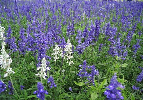 山东口碑好的鼠尾草生产基地,山东鼠尾草
