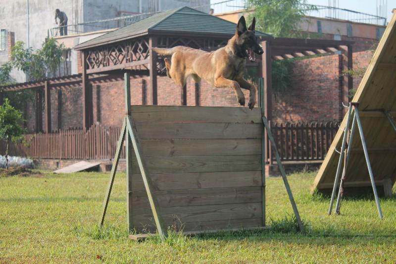 宠物培训学校-口碑好的惠州宠物培训就在鸿威犬舍