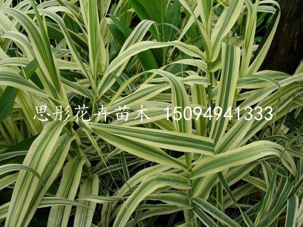 优质花叶芦竹|大量供应优良的花叶芦竹