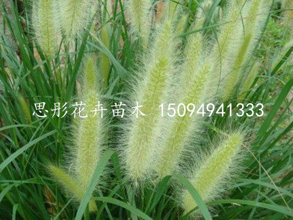 优质的小兔子狼尾草|优惠的狼尾草哪里有供应