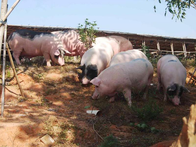 新鮮土豬肉-佛山口碑好的佛山土豬肉經銷商