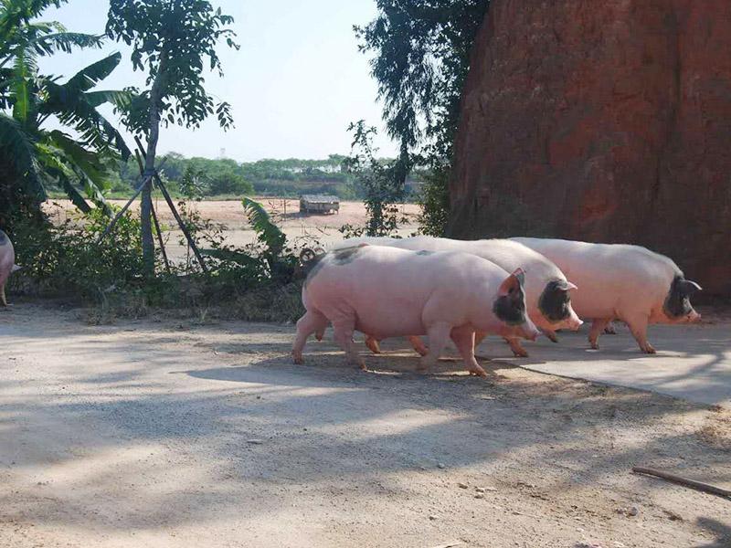 哪里能买到放心的佛山土猪肉|腊肠价格