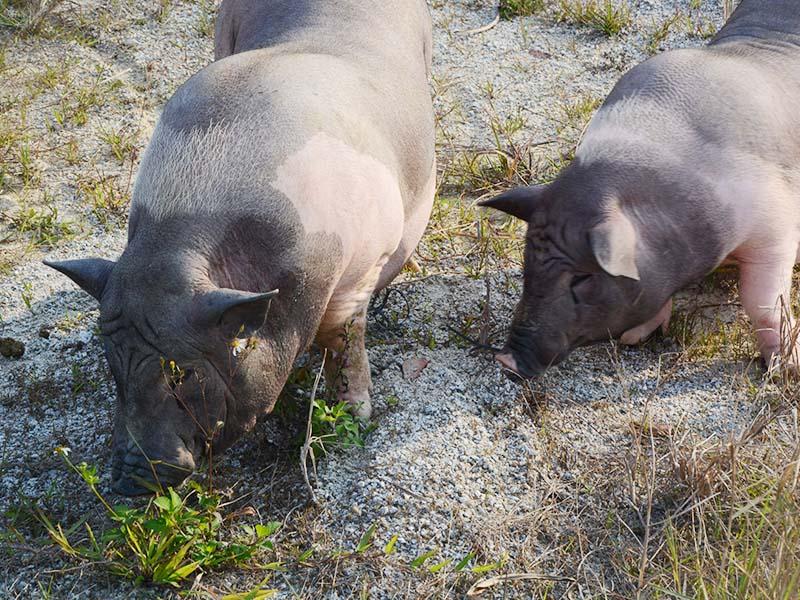 农家风味土猪肉-佛山品质好的佛山土猪肉批发