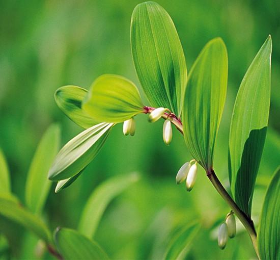 节地——专业供应玉竹