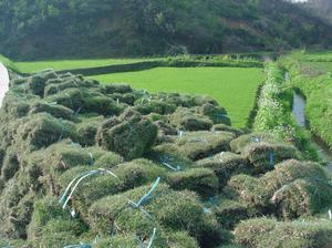 马尼拉草坪厂家供应-想要好的马尼拉草坪就来华博苗木园艺场