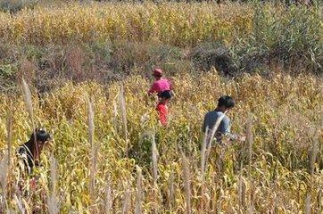 黑小米厂家供应-哪里能买到放心的富硒黑小米