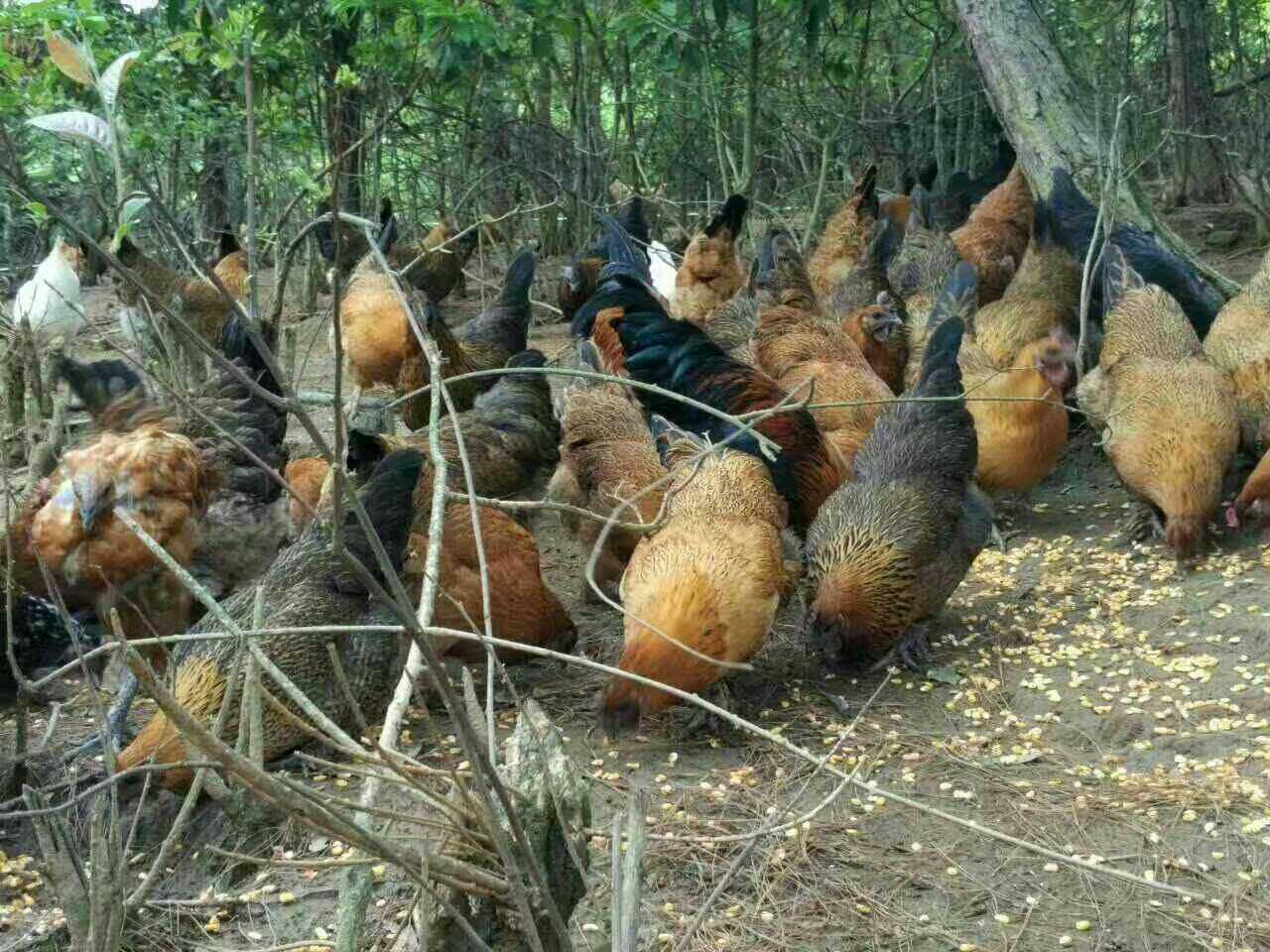 昆明高品质武定高脚土鸡出售,划算的武定高脚土鸡