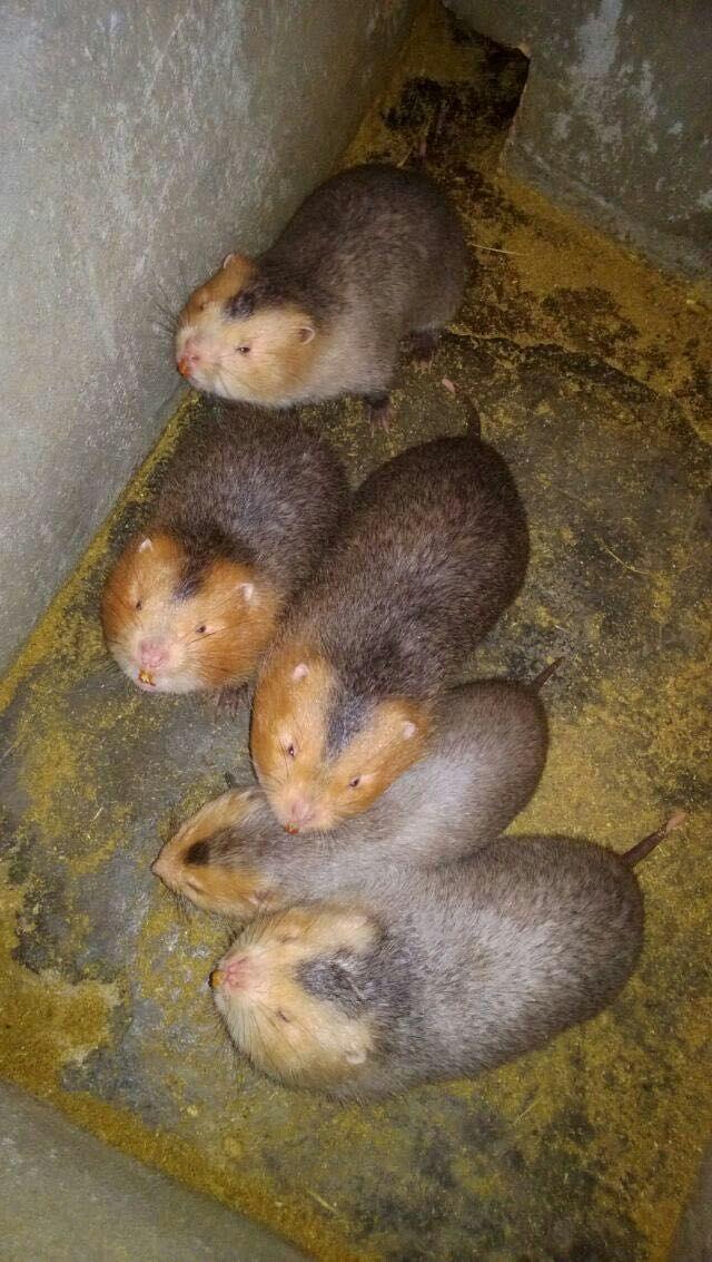 价格合理的南宁竹鼠当选广西德澳新农业-柳州竹鼠养殖