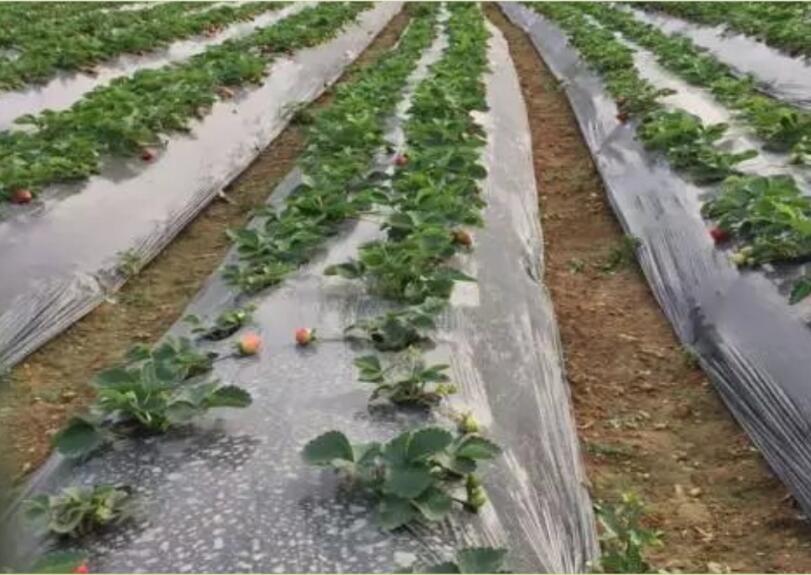 六盘水草莓种植地膜|怎么挑选质量好的银黑双色地膜