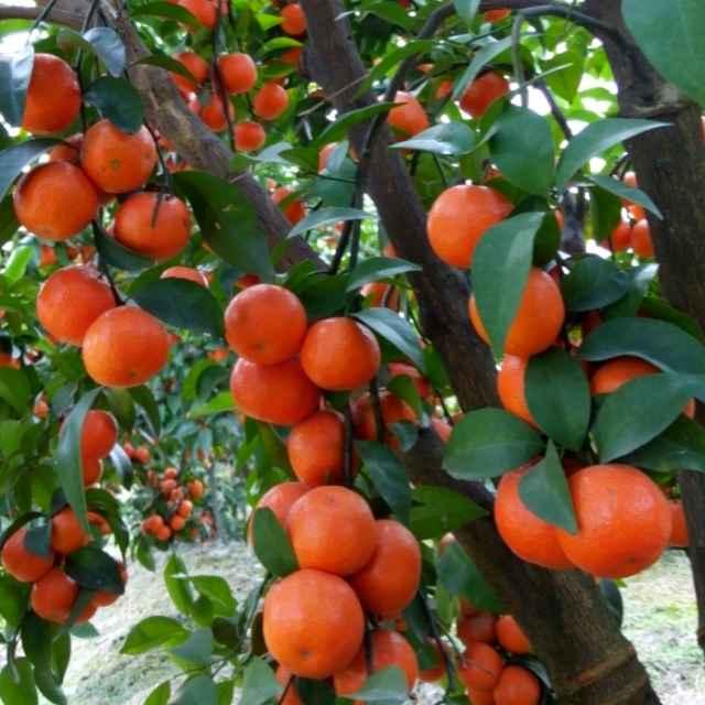 优质砂糖橘长寿专用膜 品质好的砂糖橘长寿专用膜供货商
