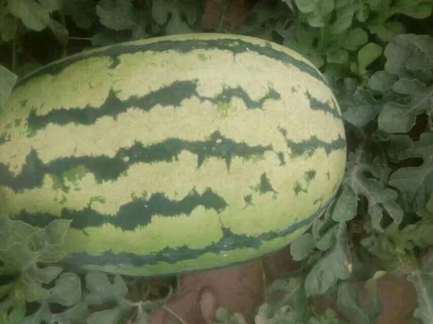 新民市科旺种子提供有品质的西瓜代收|吉林西瓜代收