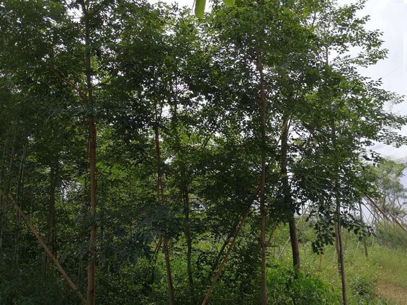 广东交趾黄檀-优质大红酸枝树苗景丰苗木场专业供应