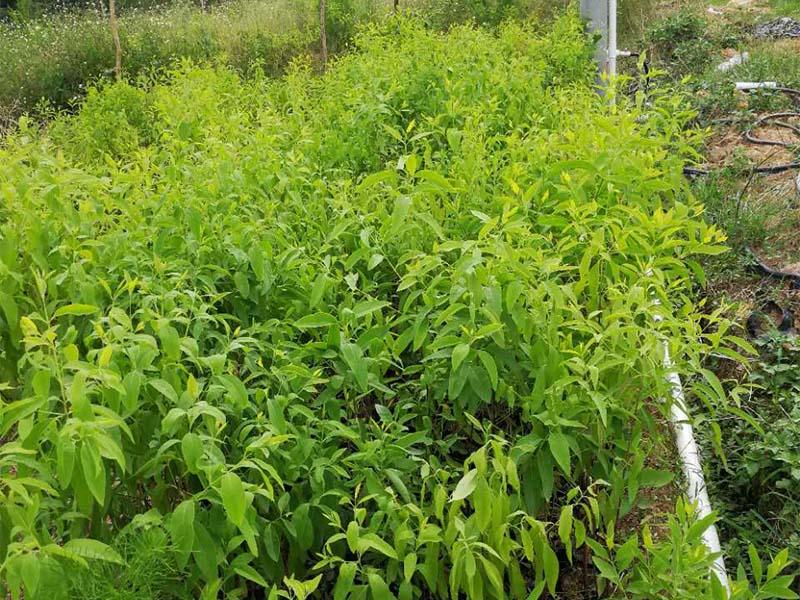 肇庆优质印度檀香苗供应-种植檀香