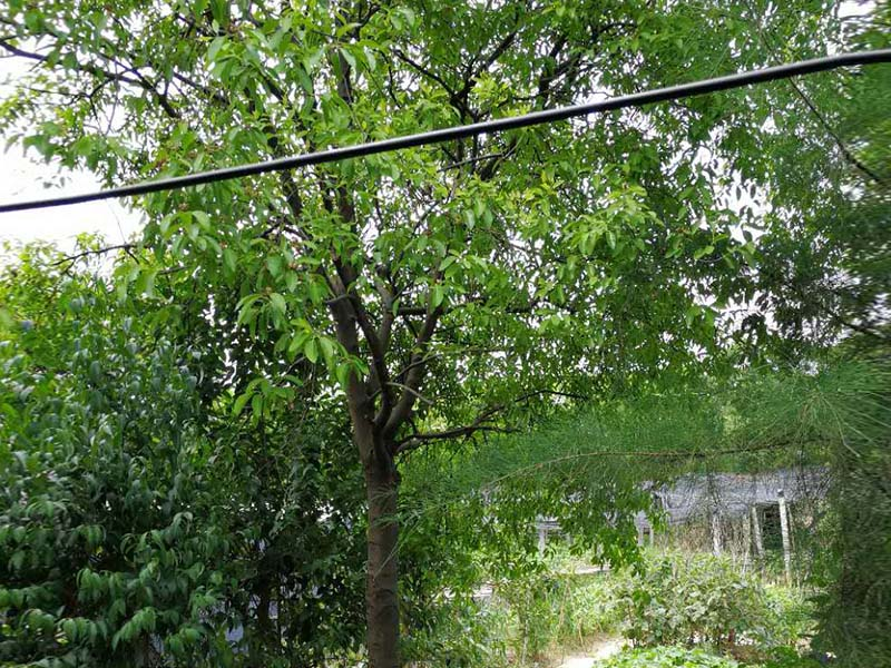 檀香木批发|买印度檀香苗当然选景丰苗木场