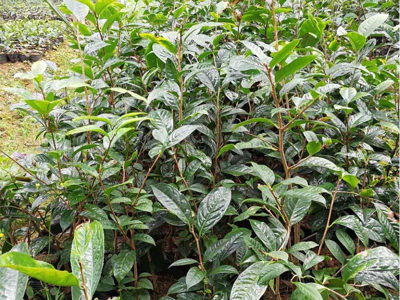 优质金花茶苗价格苗专业供应-金花茶