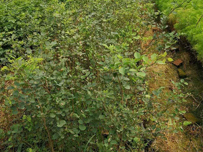 购买印度黄檀就选景丰苗木场-高要区回龙镇黄檀