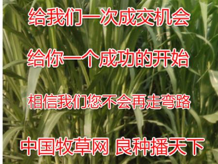 养牛高产牧草品种品种有哪些?