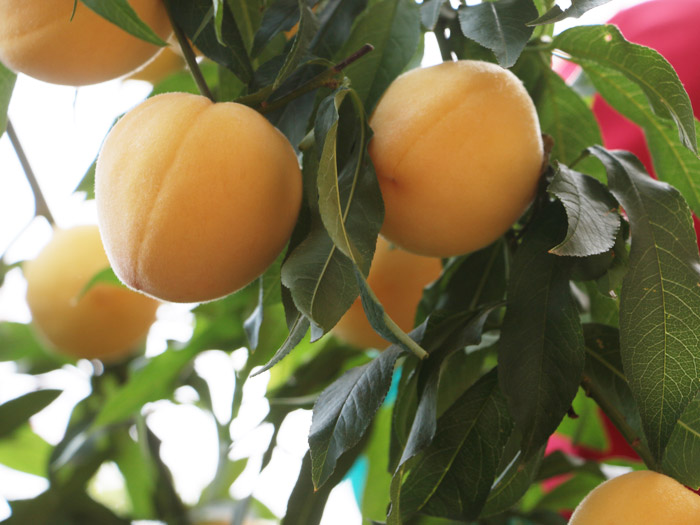 黄桃新品种_供应山东物超所值的黄桃苗