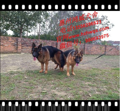 纯种猫狗繁殖场_繁殖出售各类犬种公司-惠州市惠城区鸿威犬舍
