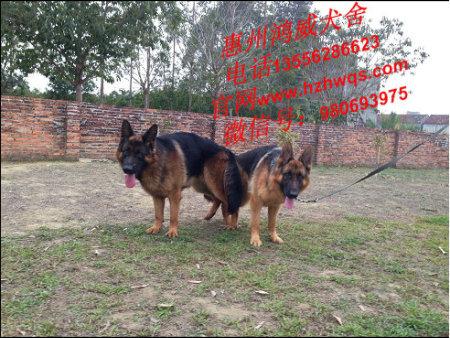 资深的繁殖出售各类犬种当选鸿威犬舍|狗狗怎么繁殖