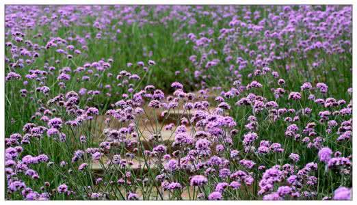 马鞭草哪里有——马鞭草批发长运花卉