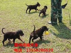 宠物狗繁殖-服务周到的犬类繁殖推荐