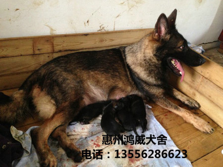 德牧繁殖基地-惠州哪里有提供服务好的犬类繁殖