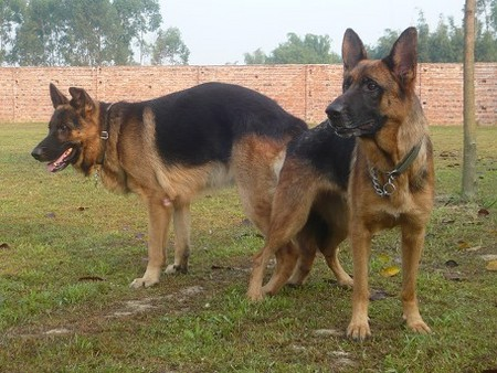 宠物狗繁殖基地 惠州服务周到的犬类繁殖
