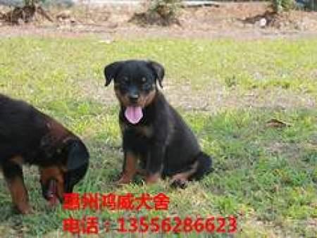宠物寄养训练_惠州地区专业犬类托管