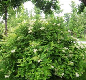 丛生珍珠梅莳植-潍坊有品德的地丁花那里有供给
