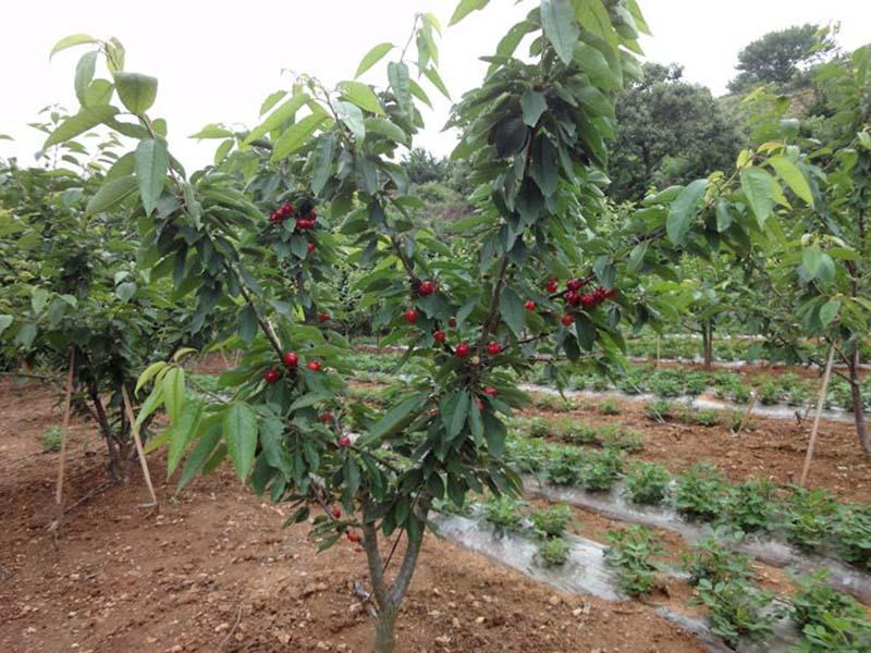 一边倒果树苗木基地|哪里能买到实惠的一边倒苗木