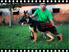 口碑好的宠物培训哪里比较好_广东宠物培训基地-惠州鸿威犬舍