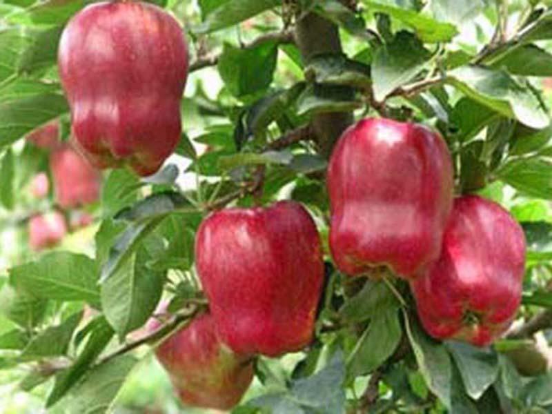 一边倒果树研究所-想要苹果苗就来一边倒果树苗木