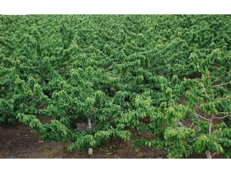 山东樱桃苗价格_成活率高的大樱桃苗出售