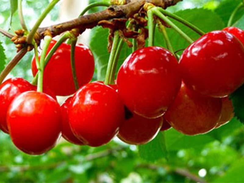 大樱桃苗价格|想要买大樱桃苗就来一边倒果树苗木