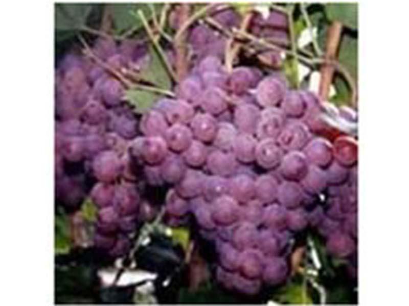 寿光一边倒苗木基地|哪里能买到实惠的葡萄苗