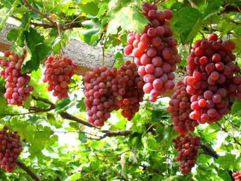 一边倒葡萄苗种植技术-想要品质好的葡萄苗就来一边倒果树苗木