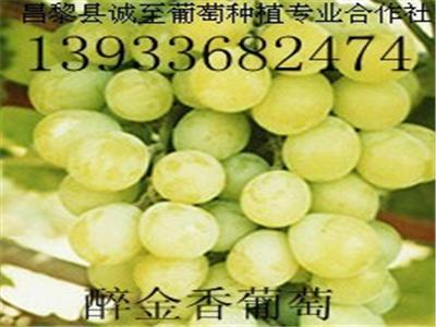 玫瑰香葡萄苗批发——河北哪里有出售东方蓝宝石葡萄苗