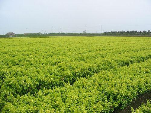 想买新品园林植物,就到艺琼花卉苗木 _瓜子黄杨基地