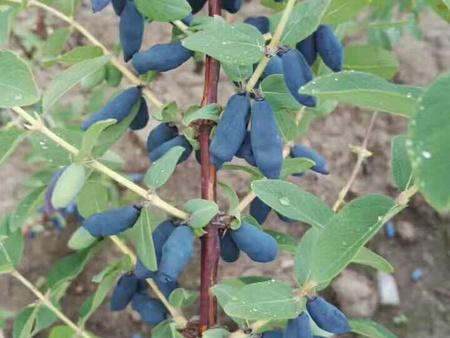 葫蘆島藍靛果苗 沈陽哪裏能買到藍靛果苗木